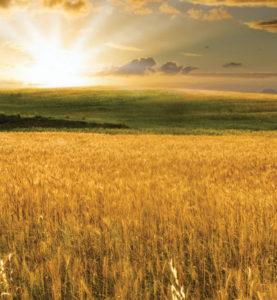 BG-GOLDEN-SUN-WHEATFIELD-web