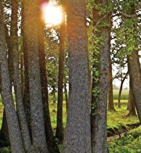 SUNLIGHT-THROUGH-TREES-web